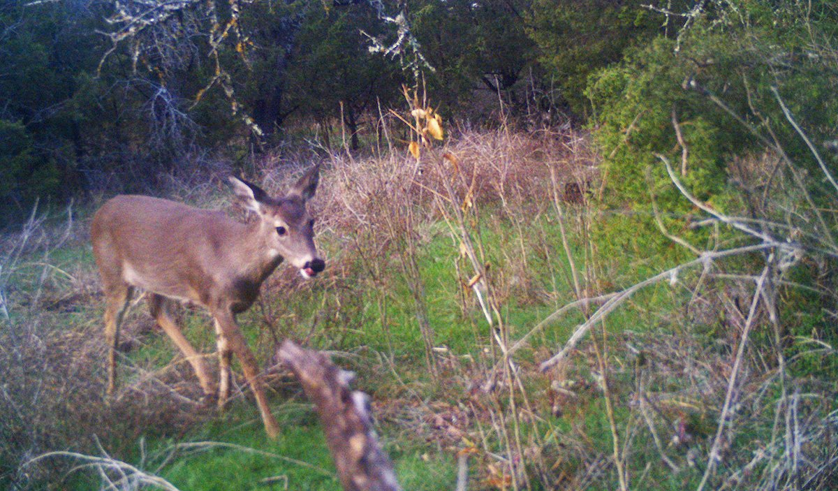trail camera deer