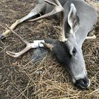 First buck ever, California blacktail on public land.
