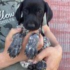 New GSP Puppy.